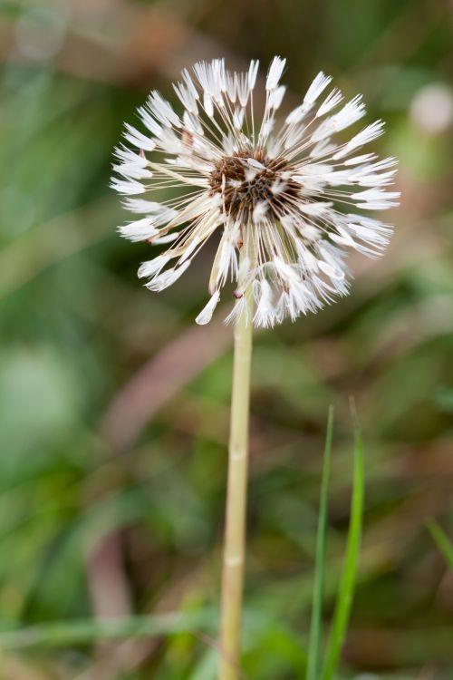 Dandelion Fluff Macro
