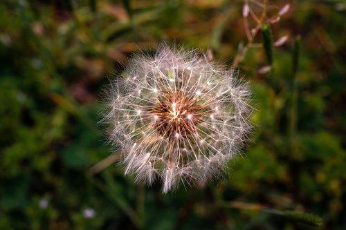 dandelion mr hall  spring  flowers