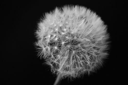Dandelion On Black Background