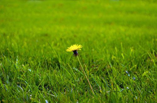 Dandelion On The Grass