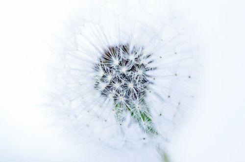 Dandelion On White Background