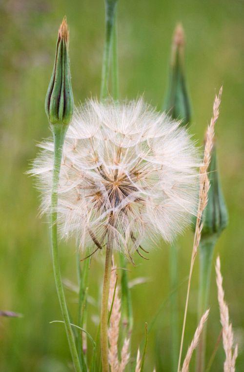 Dandelion Puff Flower