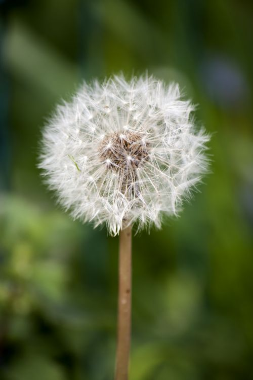 Dandelion Seed Head Puff