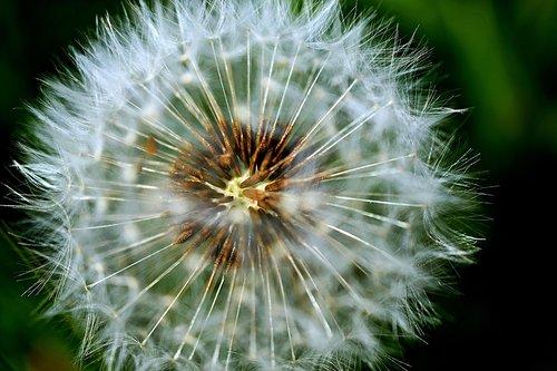 dandelion seeds  weed  dandelion