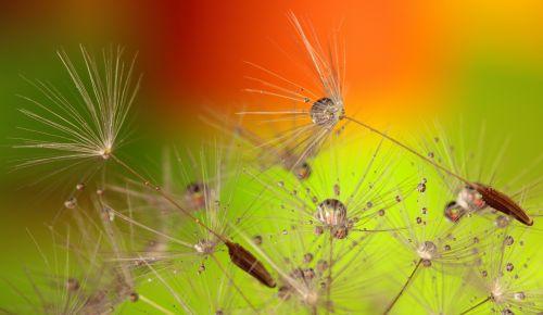 Dandelion Seeds & Water Droplets