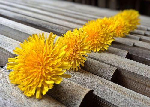 dandelions weed spring