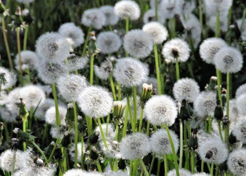 dandelions field spring