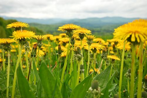dandelions spring mountains
