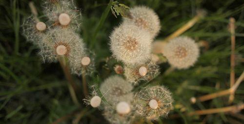 dandelions flowers grass