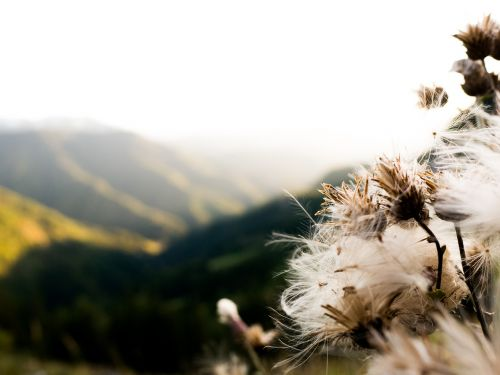 dandelions dandelion mountains