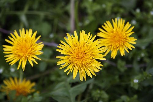 dandelions yellow healing