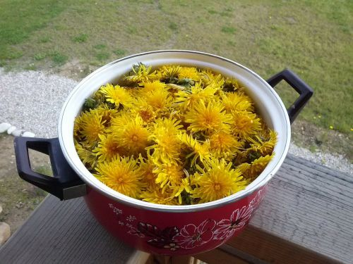 dandelions pot yellow