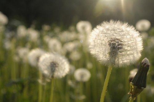 dandelions  meadow  sonchus oleraceus