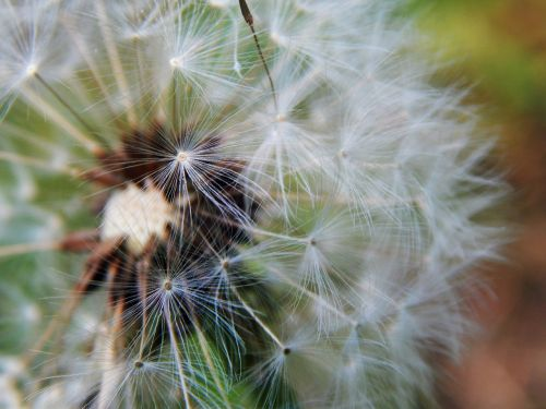 dandelions dandelion macro