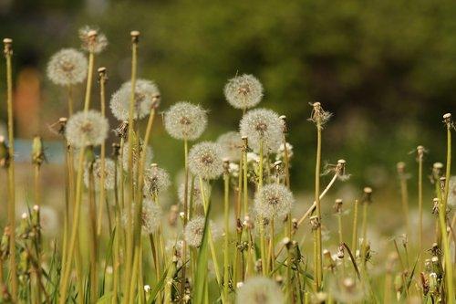 dandelions  furry  fluffy dandelions