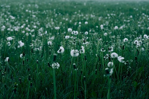 dandelions  field  dandelions in a field