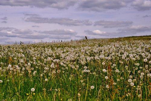 dandelions  overblown  fluff