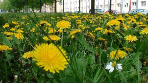 dandelions greens yellow