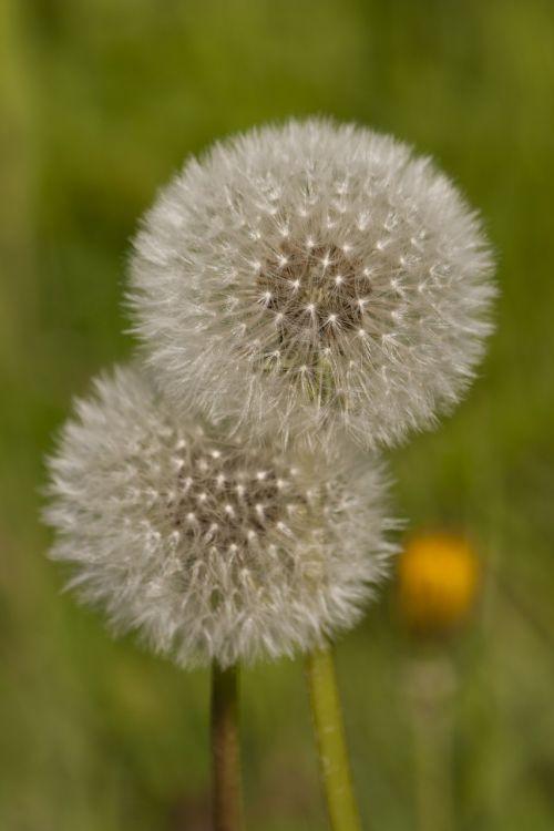 dandelions green spring
