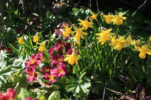dandelions spring flowers