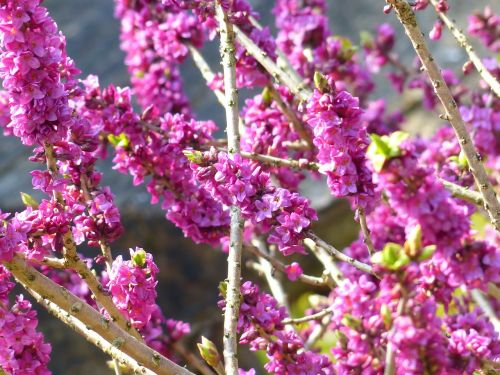 daphne smell bloom