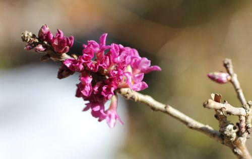 daphne flowering twig harbinger of spring