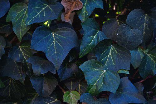 Dark Green Ivy Leaves