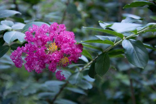 dark pink crepe myrtle garden myrtle