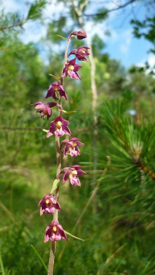 dark red helleborine german orchid steep mountain slope
