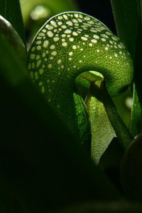 darlingtonia cobra lily carnivorous