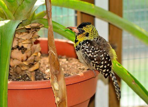 d'arnaud's barbet exotic bird