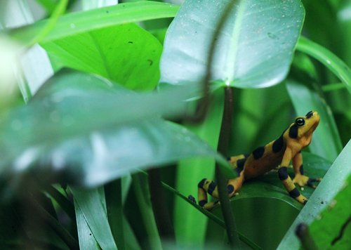 dart  frog  amphibian