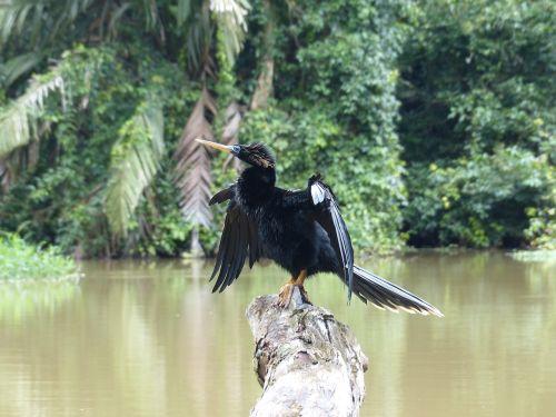 darter anhingidae bird