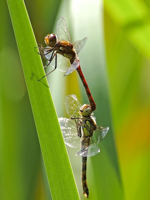darter sympetrum dragonfly insect