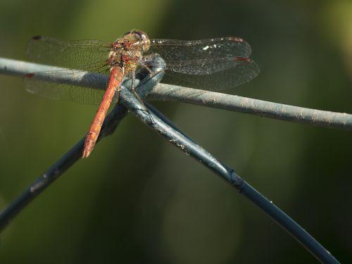 darter sympetrum dragonfly animal