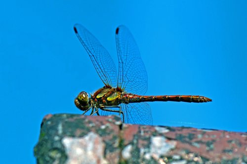 darter sympetrum  dragonfly  flight insect