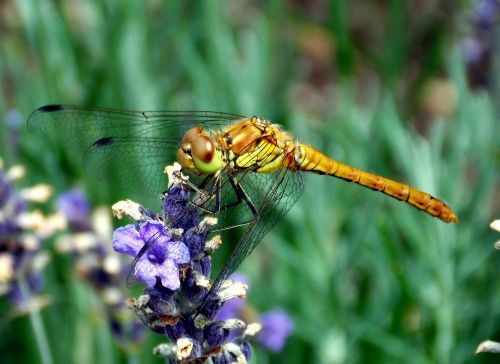 darter sympetrum dragonfly dragonflies