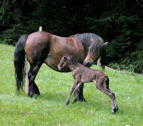 dartmoor foal foal horse