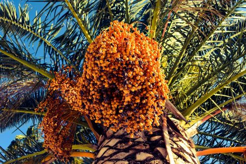 date palm tree nature