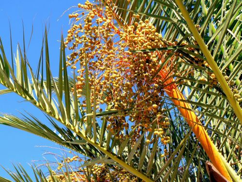 date-palm dates fruit