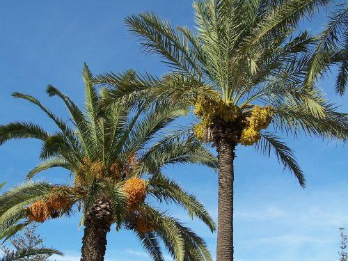 date palm date palm