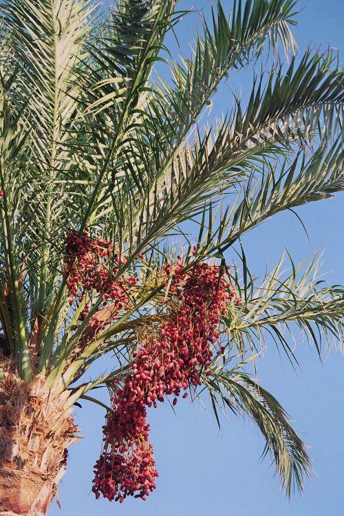date palm phoenix palm genus