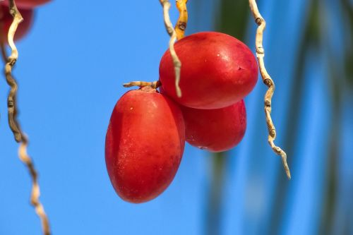 date palm date fruit