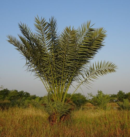date palm tree young