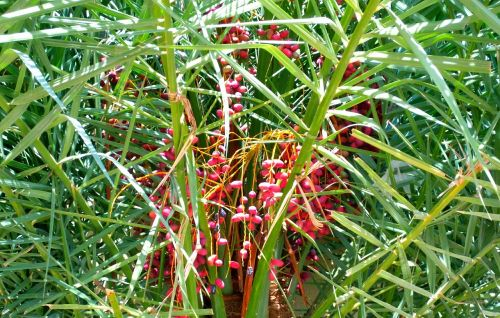 date palm tree red tree
