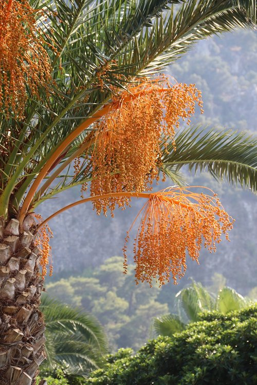 date palm tree  palm  exotic