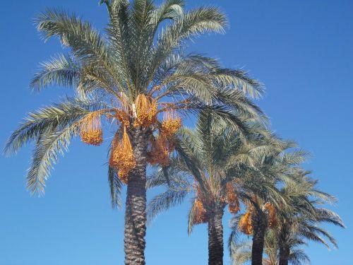 dienos palmės,palmės,plamenfrucht,dangus,Turkija,turkish,romantika