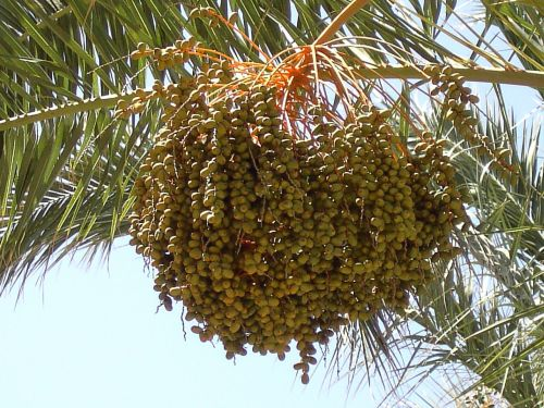 dates fruits date palm