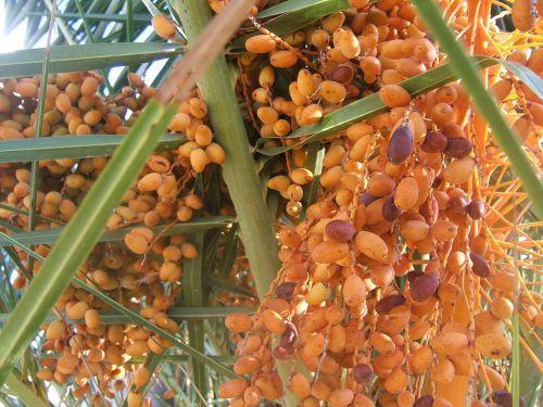 dates palm tree leaves