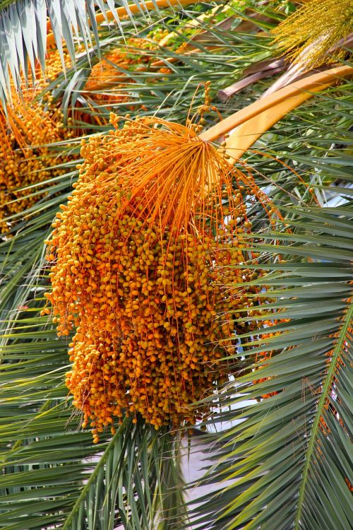 datlová palma palm dates